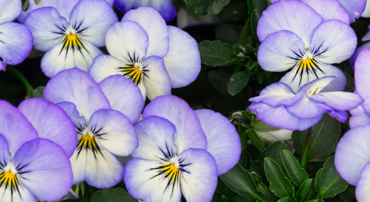 Assortment of Pansies